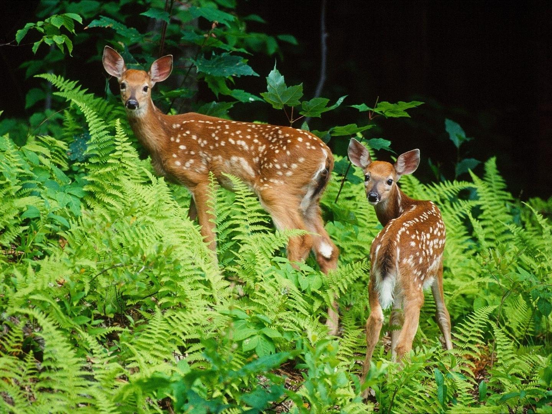 Deer Nature Animals Fawns Baby Animals Wallpapers Hd: Nature Animal Wallpapers