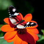 butterflies_wallpapers